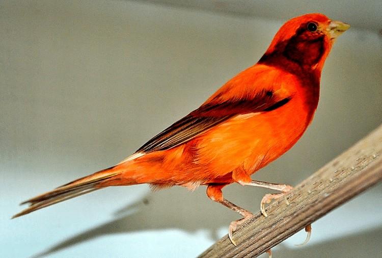 Tips Sukses Memelihara Burung Kenari Merah