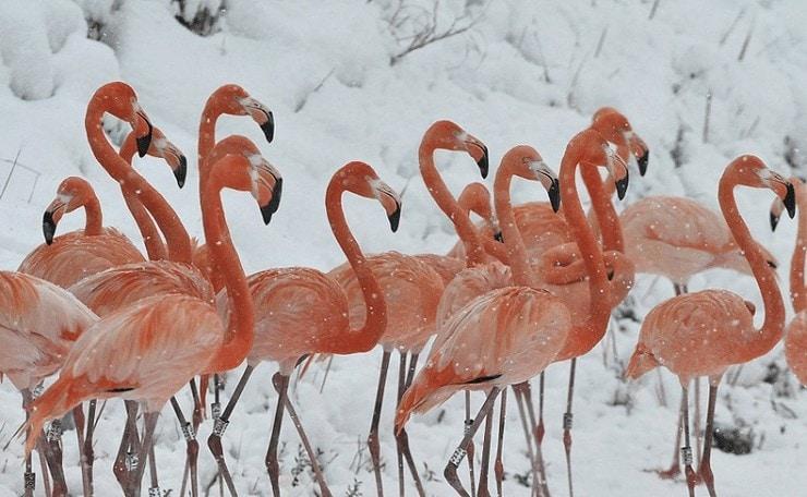 Burung Flamingo