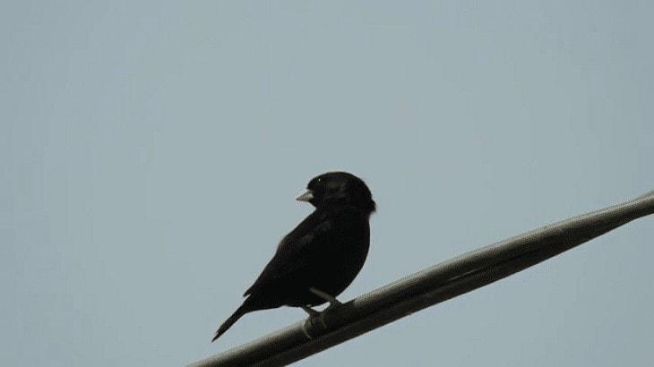 Burung Village Indigo Bersuara Merdu