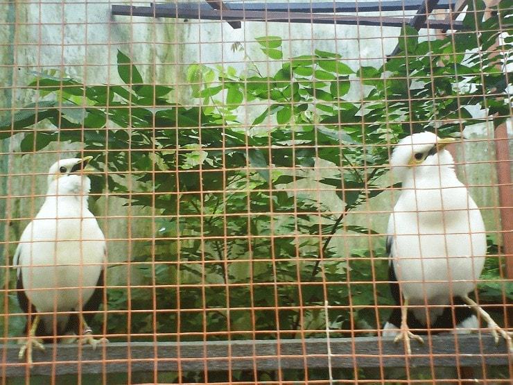 Menangkarkan Burung Jalak Putih