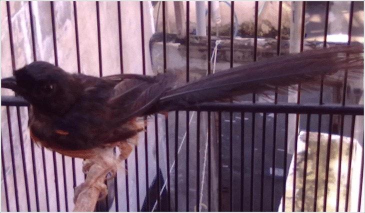 Menghilangkan Kutu Pada Burung Murai Batu