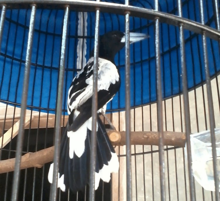Perawatan Burung Jagal Papua