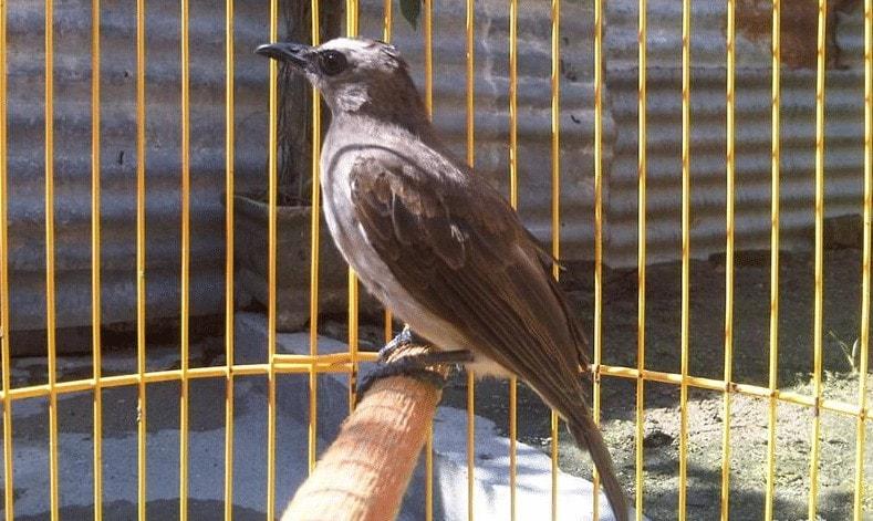 Melatih Burung Trucukan Makan Voer
