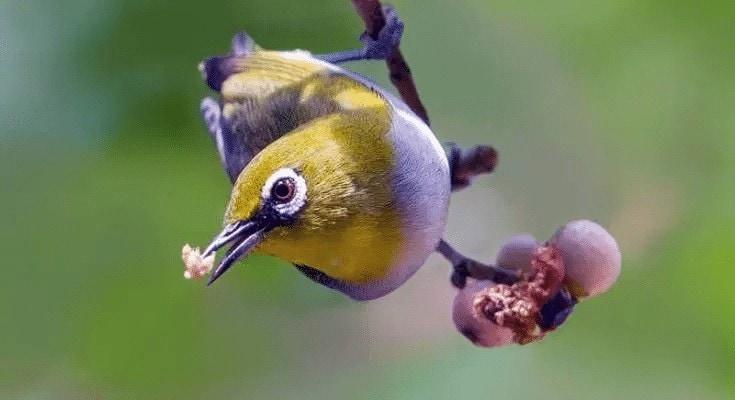 Jenis Buah Yang Bagus Untuk Burung Pleci