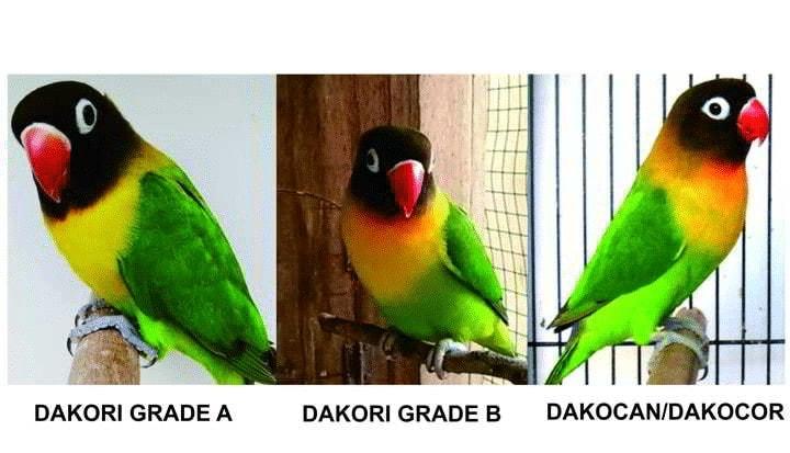 Perbedaan Lovebird Dakori dan Dakocan