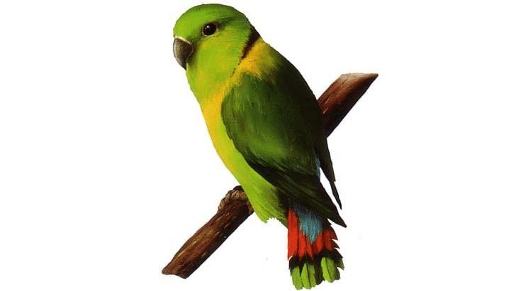 Lovebird Kerah Hitam