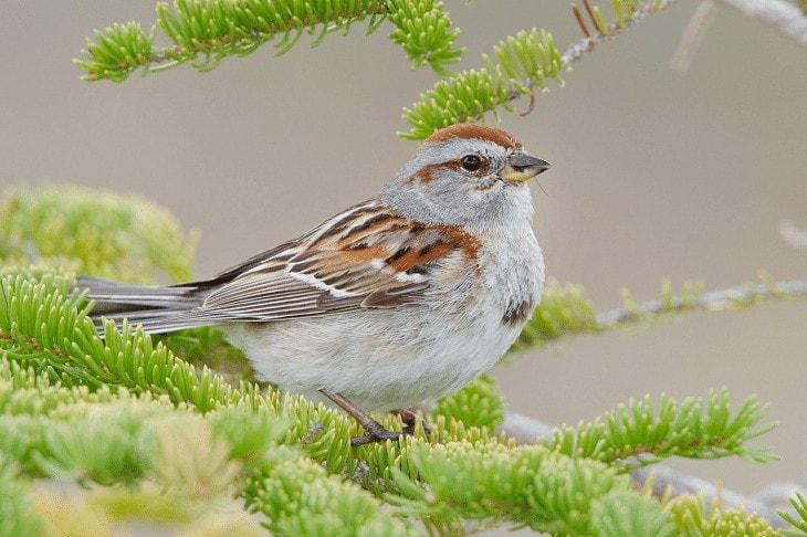 Jenis Burung American Sparrow