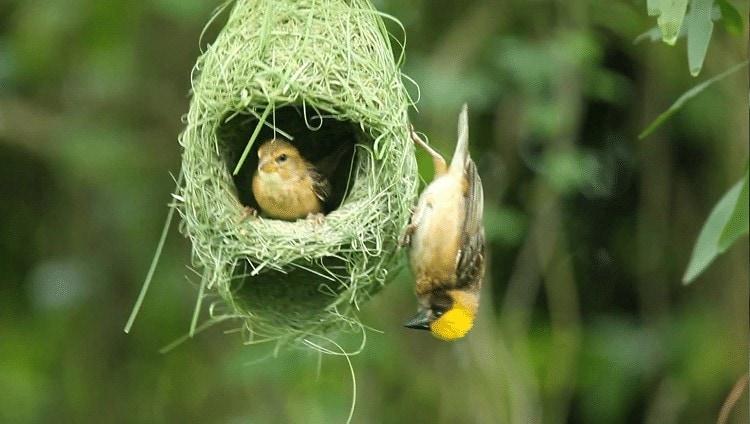 Pemberian Makan Burung Manyar