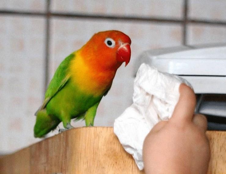 Perawatan Lovebird Sebelum Lomba
