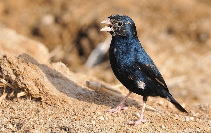 Perilaku Burung Village Indigo