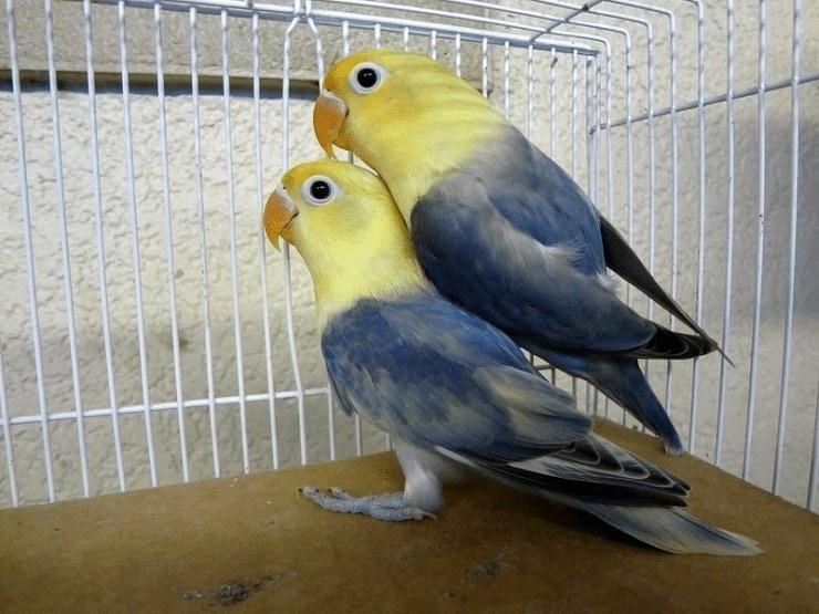 Variasi Warna Lovebird
