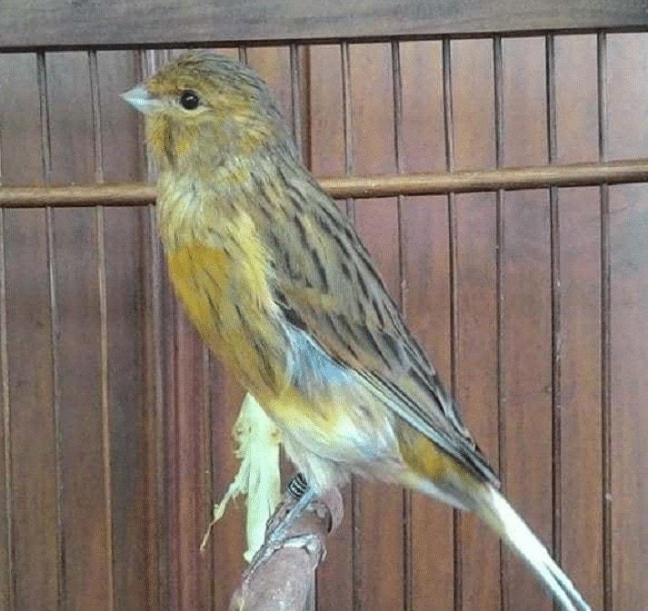 Burung Kenari Isabel