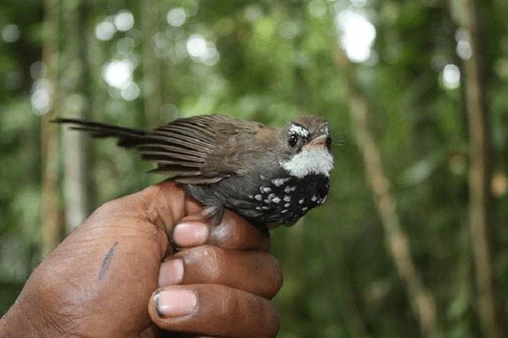Burung Kipasan Semak Bayan