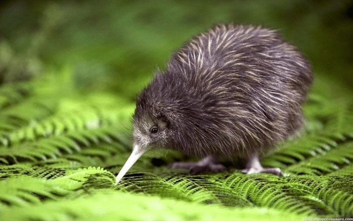 Burung Kiwi Hewan Malam