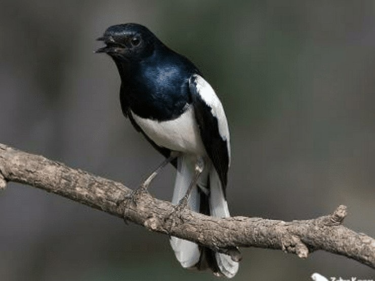 Cara Melatih Burung Kacer Agar Bersuara Panjang