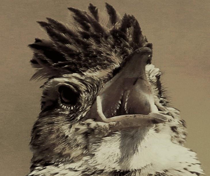 Cara Membuat Burung Branjangan Ngeplong