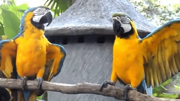 Memelihara Burung Macaw