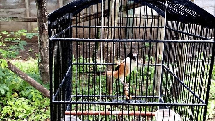 Cara Mengatasi Burung Cendet Salto