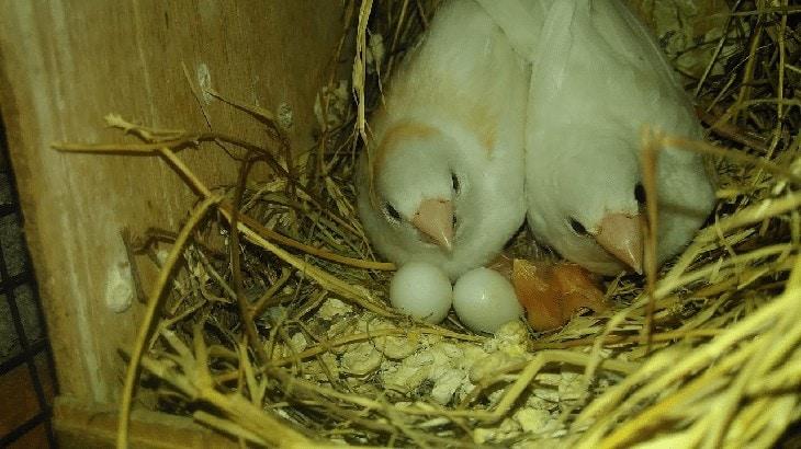 Cara Ternak Burung Emprit Jepang