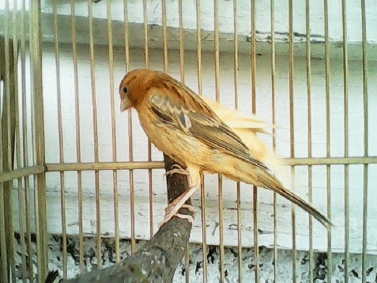 Ciri Burung Kenari Isabel