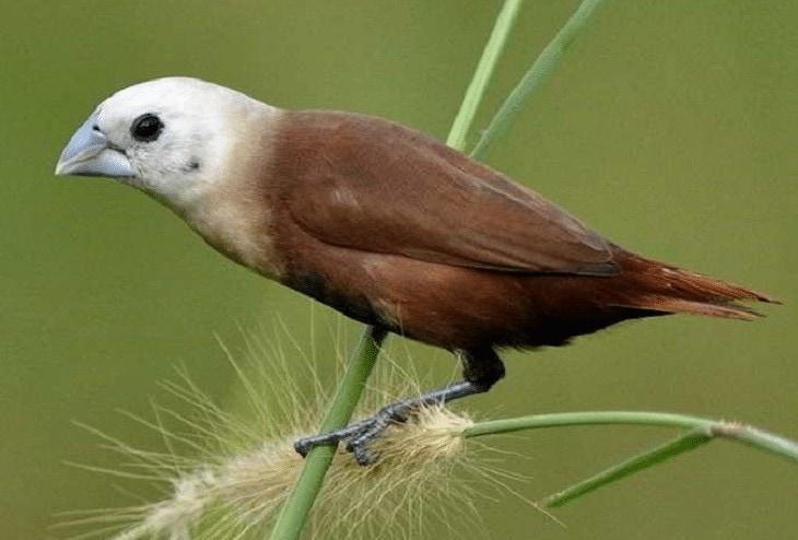 Daya Tarik Burung Emprit Jepang