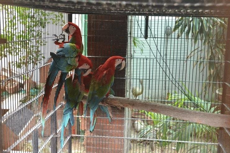 Kandang Burung Macaw