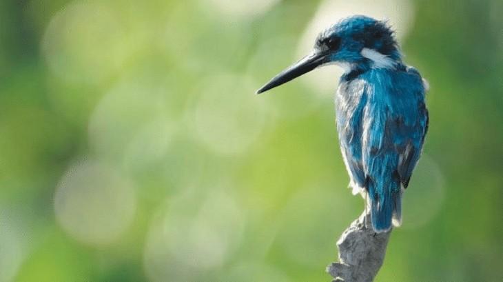 Karakteristik Burung Raja Udang Biru