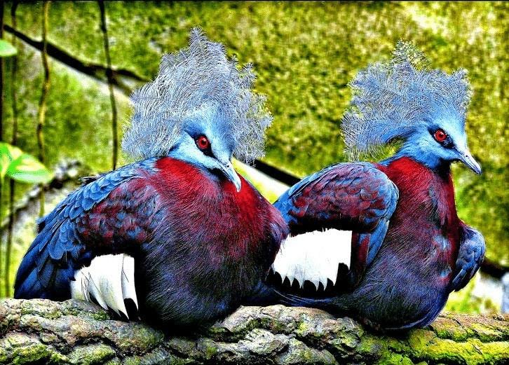 Burung Dara Mahkota