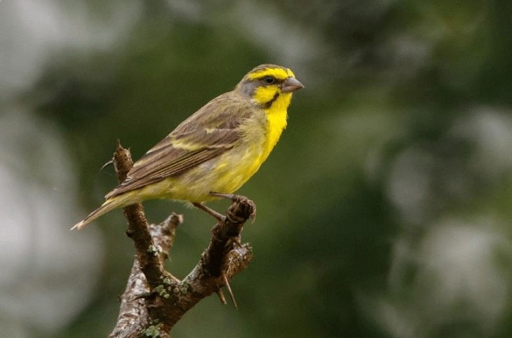 Karakter Burung Mozambik