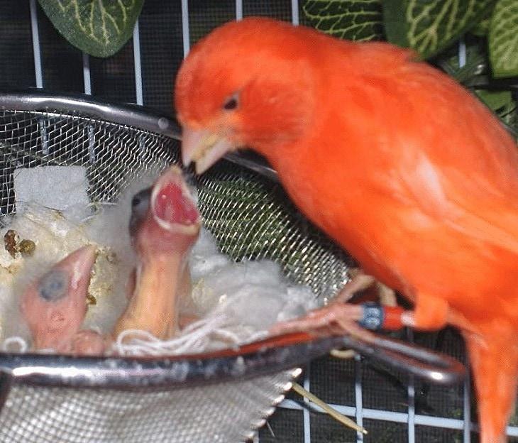 Pemisahan Anakan Burung Kenari Dari Induknya
