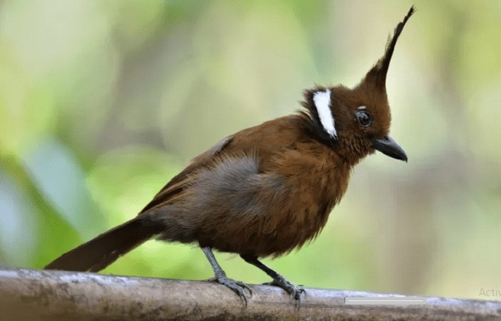 Penyebab Burung Cililin Macet Bunyi