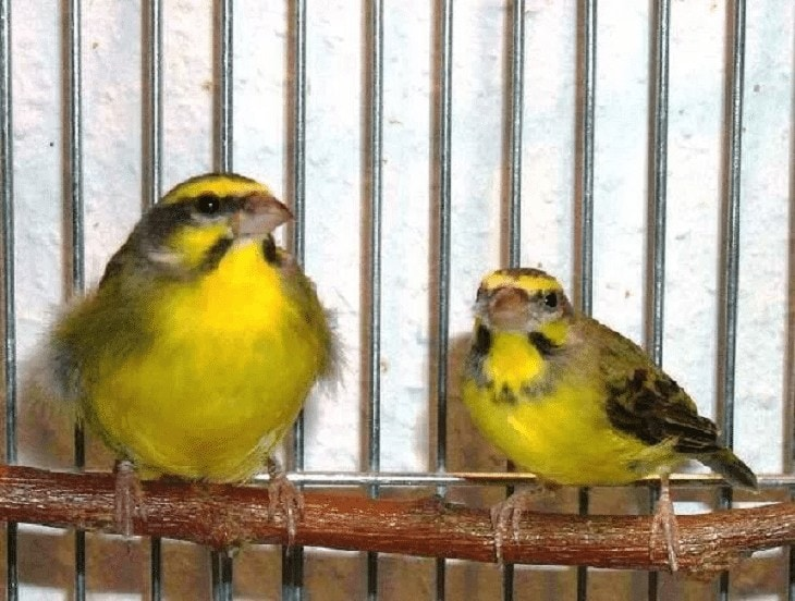 Perbedaan Burung Mozambik Jantan dan Betina