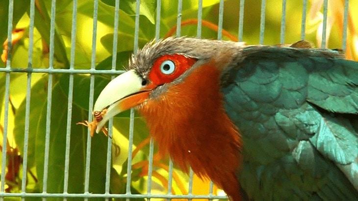 Perilaku Burung Kadalan Birah