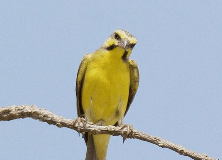 Persebaran Burung Mozambik