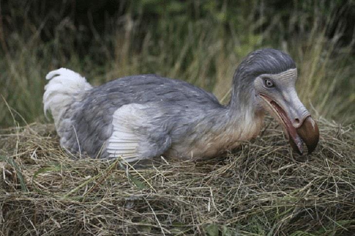 Pertumbuhan Burung Dodo