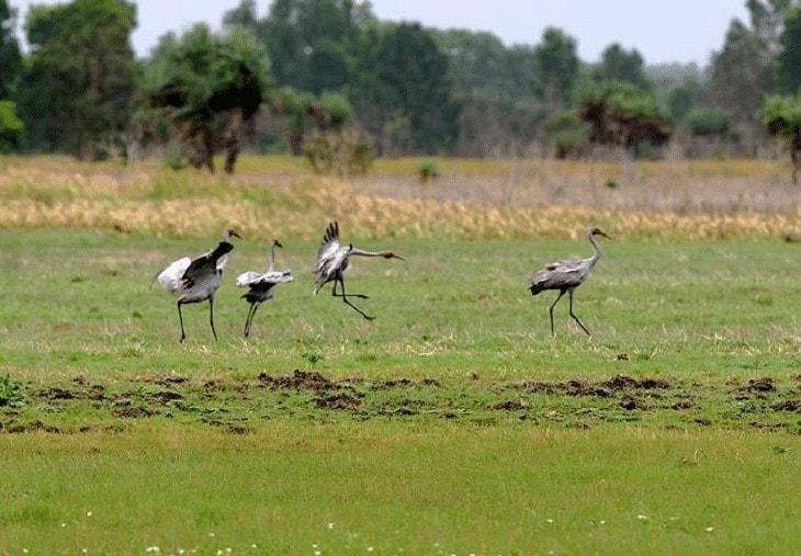 Populasi Burung Jenjang