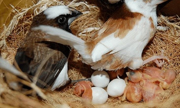 Sarang Burung Emprit Jepang
