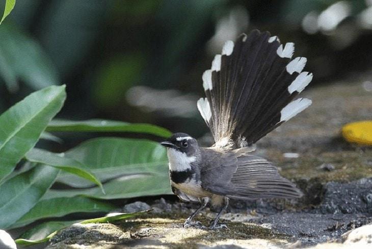 Species Burung Kipasan