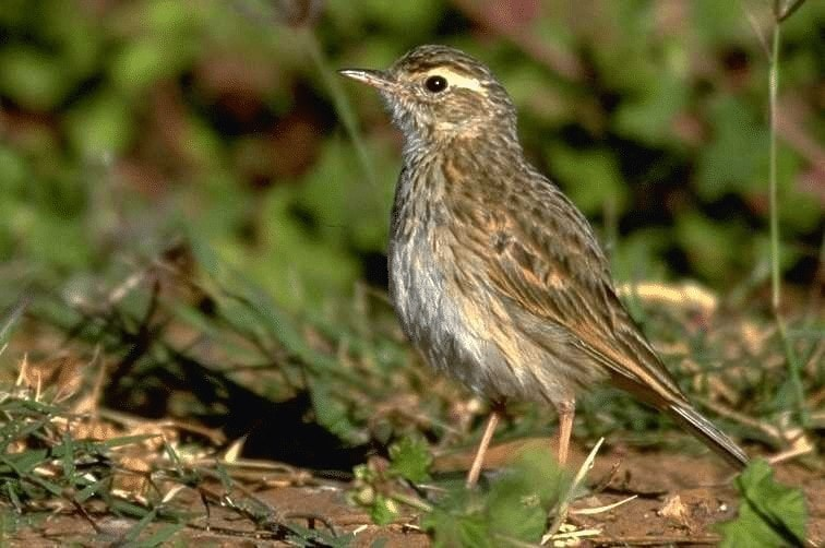 Burung Apung Tanah