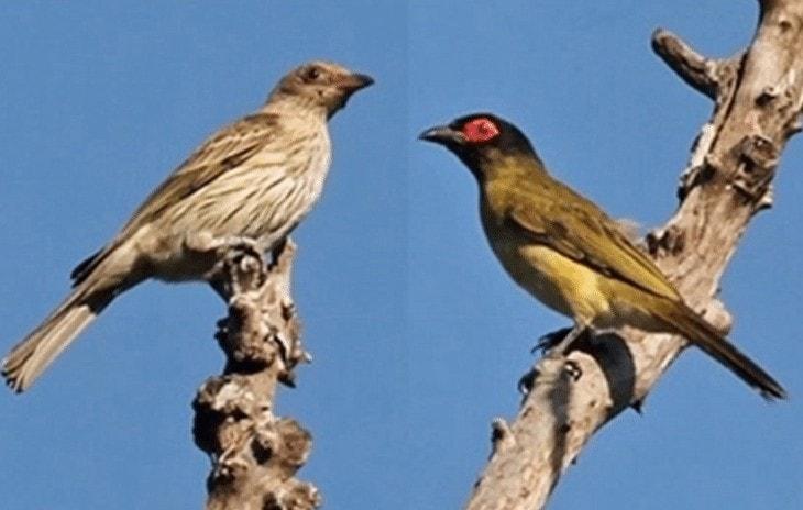 Burung Ara Timor