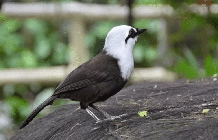 Burung Poksay Sumatera