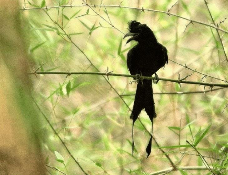 Burung Saeran Jambul Rambut