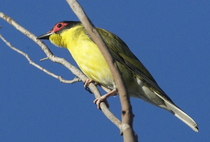 Ciri Ciri Burung Ara Timor