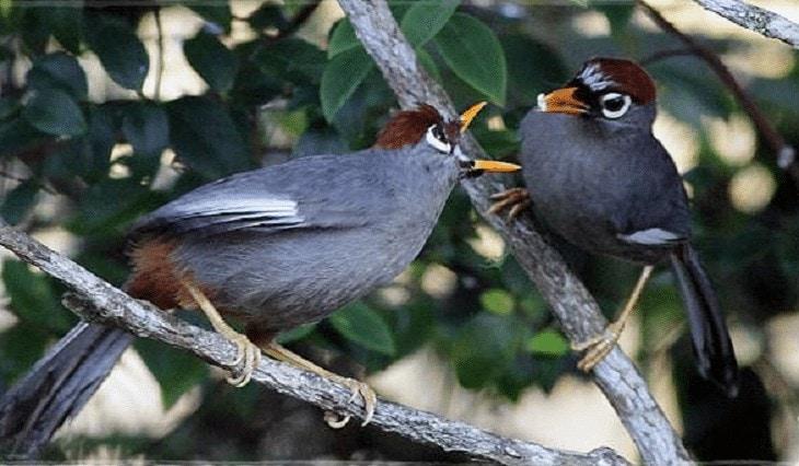 Ciri Ciri Burung Poksay Mandarin