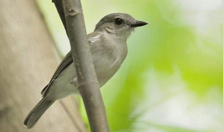 Ciri-ciri Burung Kancilan Bakau