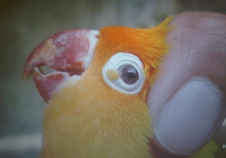 Ciri ciri Penyakit Patek Pada Lovebird