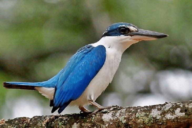 Daerah Persebaran Burung Cekakak
