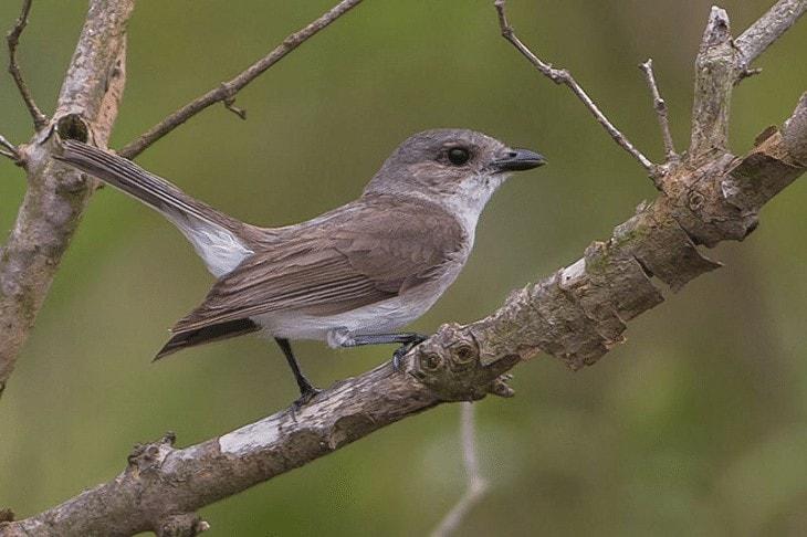 Habitat Burung Kancilan Bakau