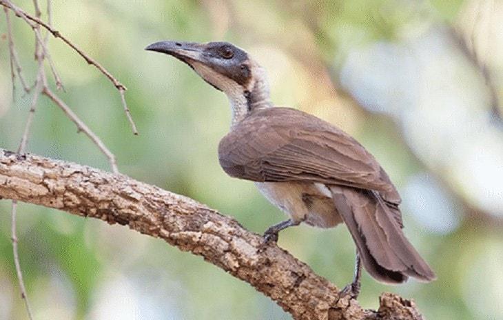 Habitat Dan Perkembangbiakan Cucak Timor