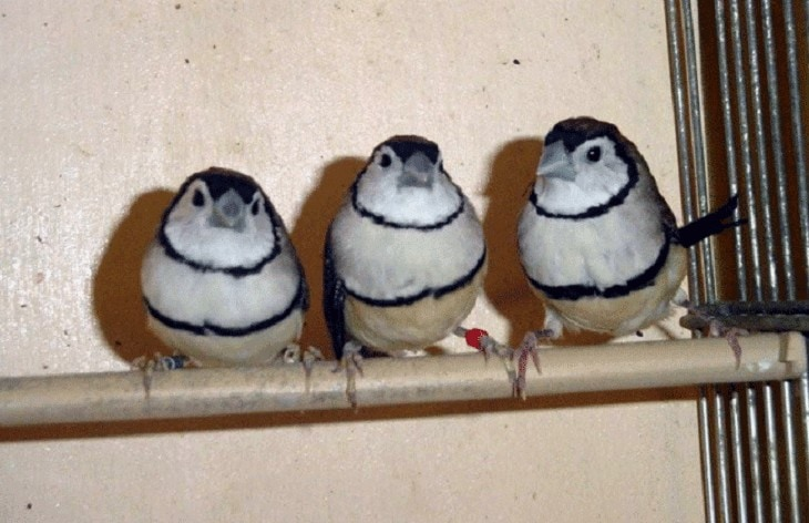 Cara Ternak Burung Owl Finch